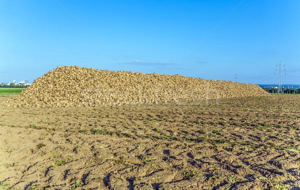 acres with sugar beets after harvest in golden light Stock photo © meinzahn