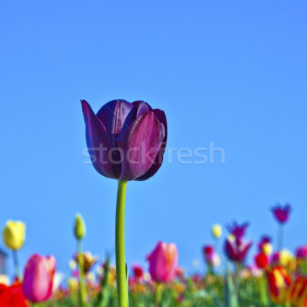 Campo colorido tulipanes primavera flores Foto stock © meinzahn