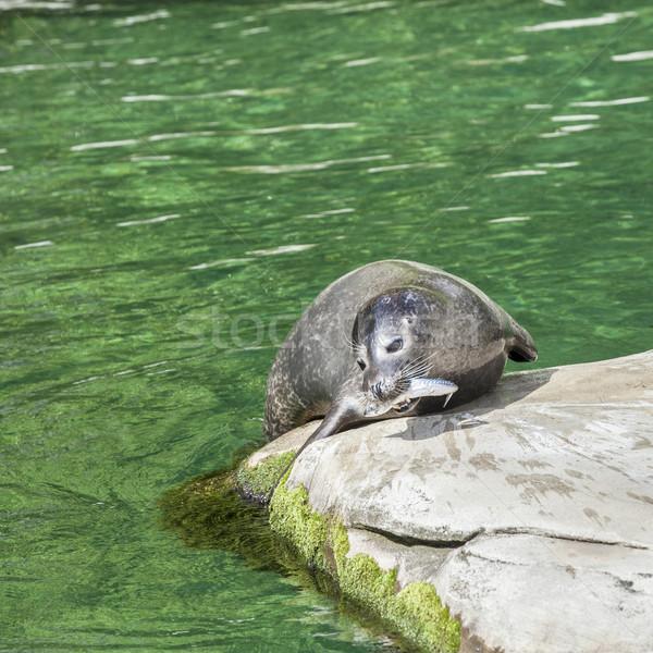 sea lion eating a fish Stock photo © meinzahn