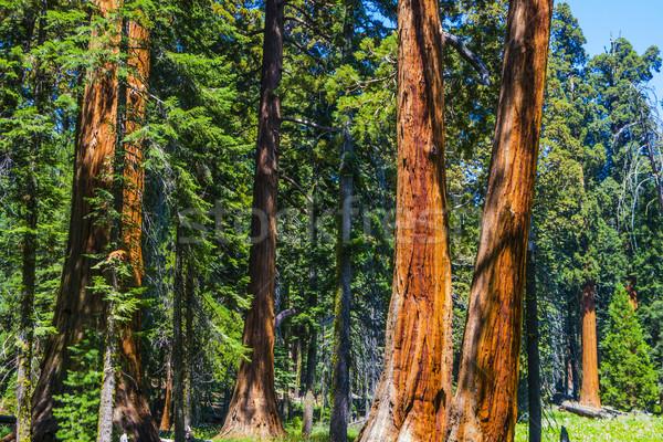 Grande sequóia árvores parque gigante aldeia Foto stock © meinzahn