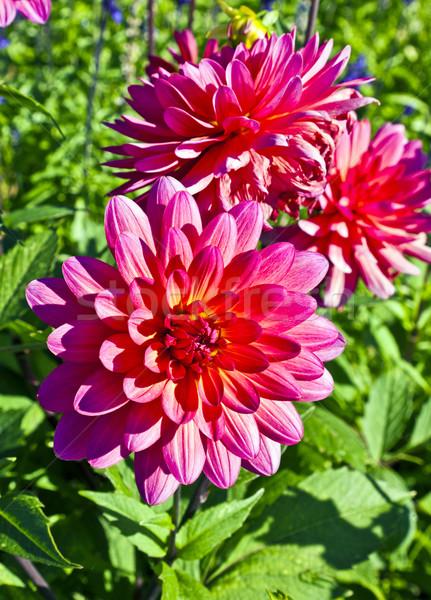 Gyönyörű virágzó dália virágágy természet kert Stock fotó © meinzahn