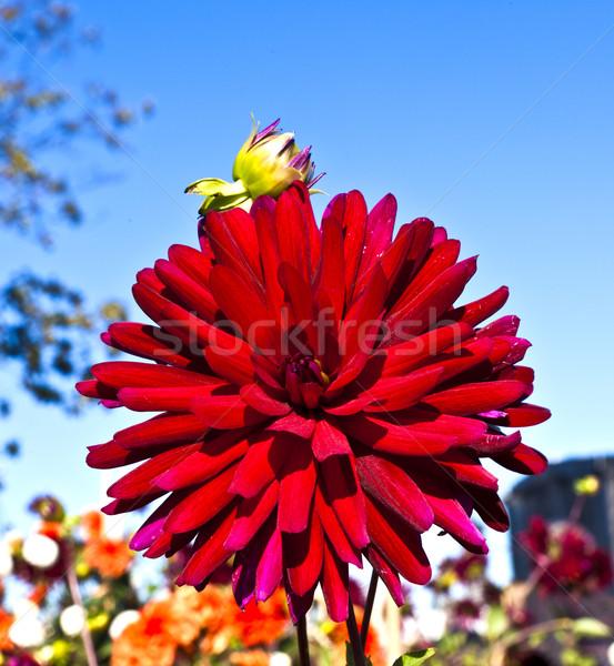 Dahlia sky фото