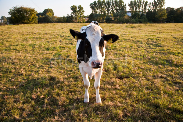 cows, 'Holsteiner Kuehe' are grazing and looking astonished Stock photo © meinzahn