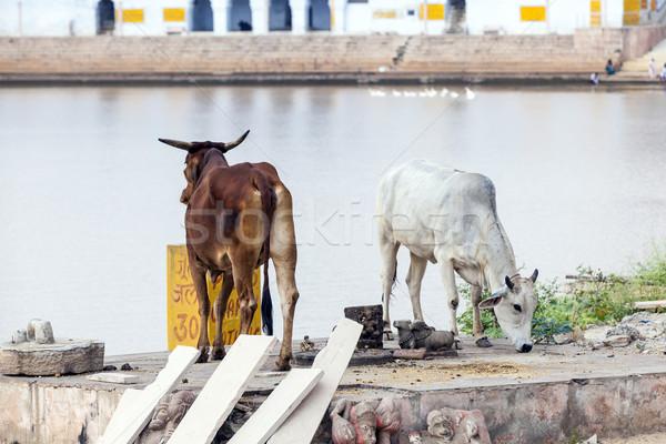 cows at the lake in Pushkar Stock photo © meinzahn