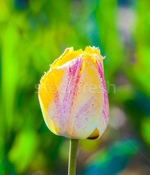 Primavera campo fioritura colorato tulipani fiore Foto d'archivio © meinzahn
