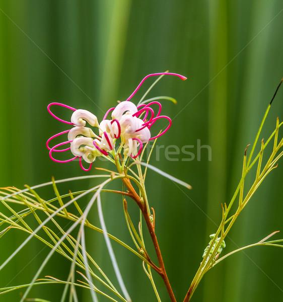 White Calla Lily Stock photo © meinzahn