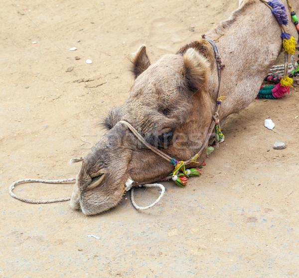 Cansado camelo terra arenoso terreno deserto Foto stock © meinzahn