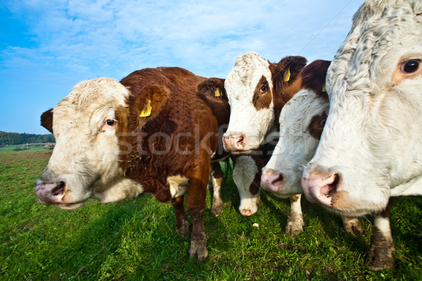 friendly cattles on green granzing land are trusty Stock photo © meinzahn