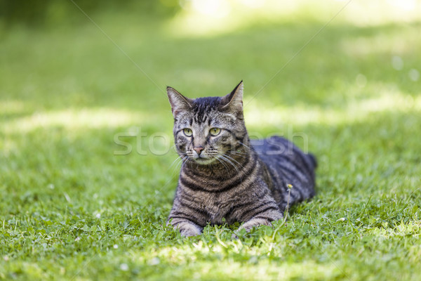 Photo stock: Cute · chat · jardin · printemps · visage · herbe