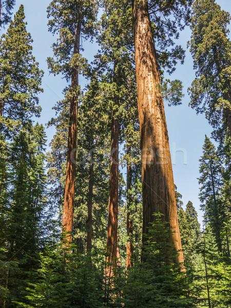 Sekwoja drzew piękna parku wysoki duży Zdjęcia stock © meinzahn