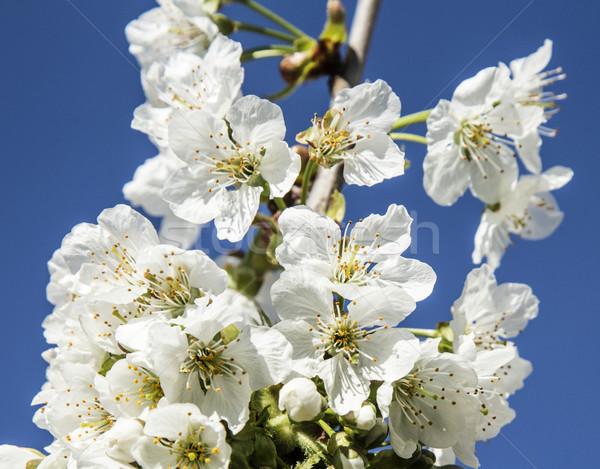 Elma ağacı mavi gökyüzü bahar doğa Stok fotoğraf © meinzahn