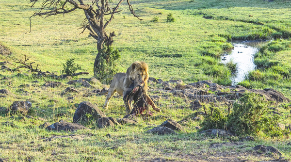 lion with prey in Masai Mara National Park. Stock photo © meinzahn
