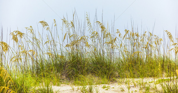 grass  grows at the beach in Sand dunes  Stock photo © meinzahn