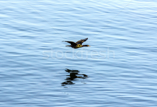 Stock photo: cormoran hunting and flying over the surface of the ocean