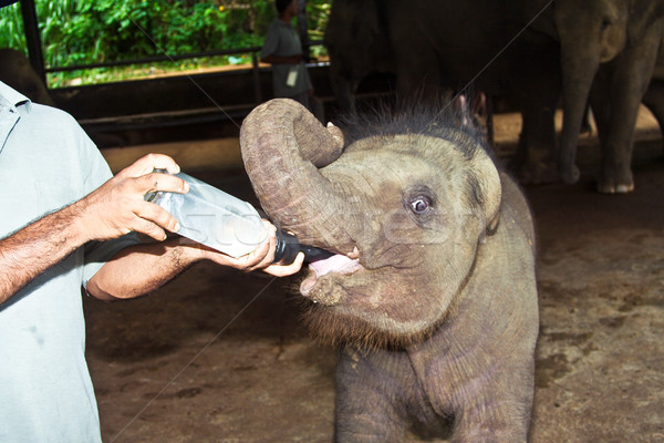 feeding elefant baby with milk Stock photo © meinzahn