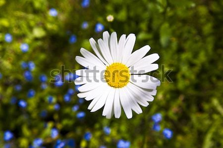 Gyönyörű fű kert részlet virág tavasz Stock fotó © meinzahn