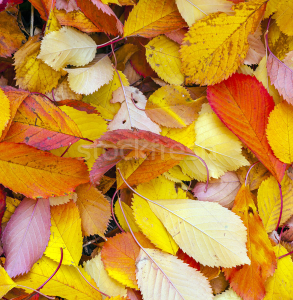 autumn leaves lying in the faded foliage  Stock photo © meinzahn