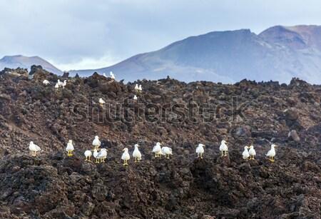 seagulls sitting on volcanic stones Stock photo © meinzahn