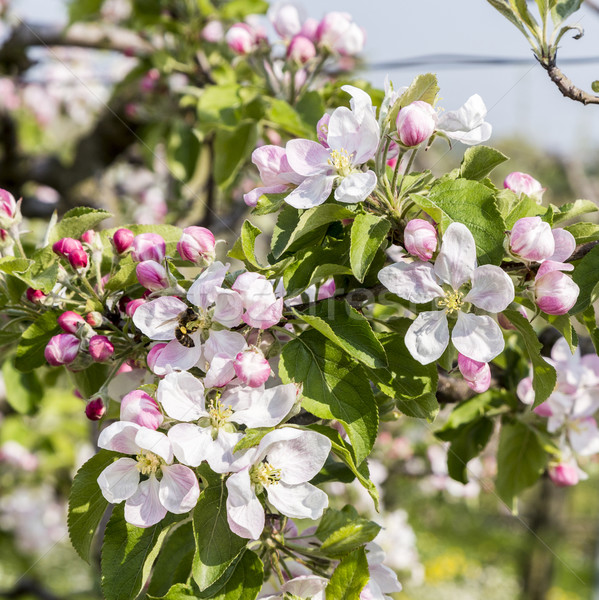 apple branches with white and pink flowers Stock photo © meinzahn