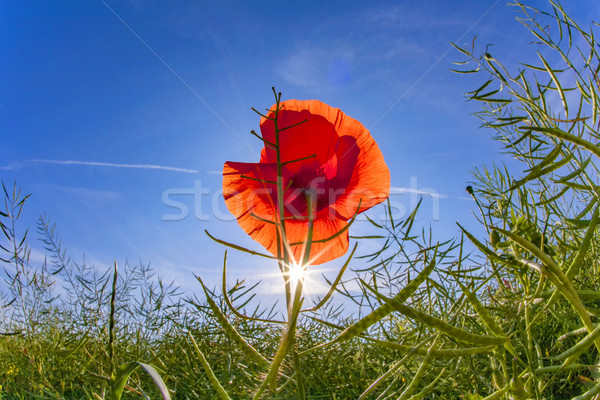 poppy flower with blue sky in field Stock photo © meinzahn