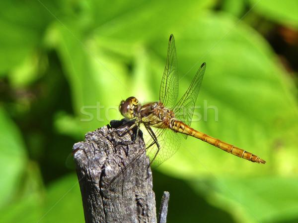 dragonfly in garden or in green nature  Stock photo © meinzahn