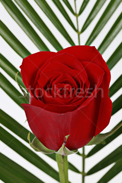 Red rose with leaves in background Stock photo © melking