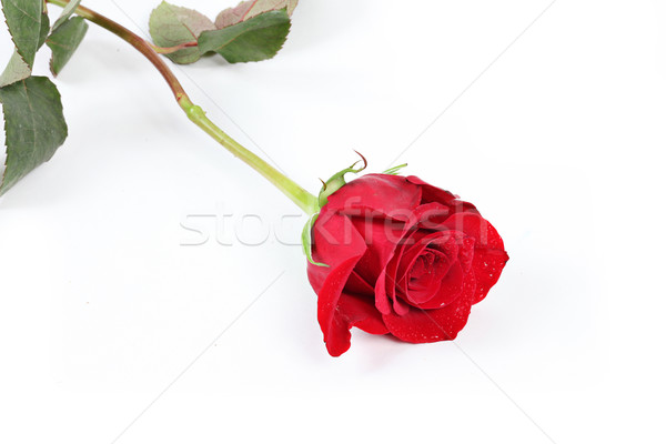 Single Red Rose with leaves Stock photo © melking