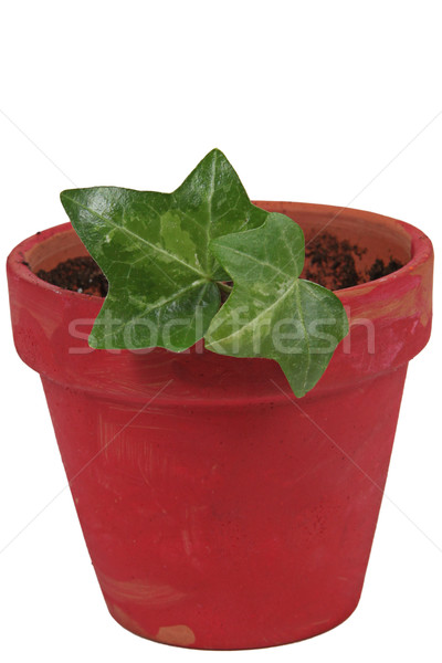 Green ivy in pot. Isolated white Stock photo © melking