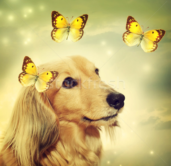 Dachshund dog with butterflies Stock photo © Melpomene