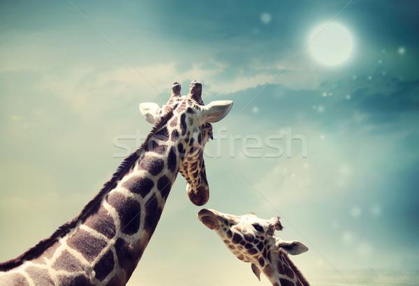 Giraffes in friendship or love concept image Stock photo © Melpomene
