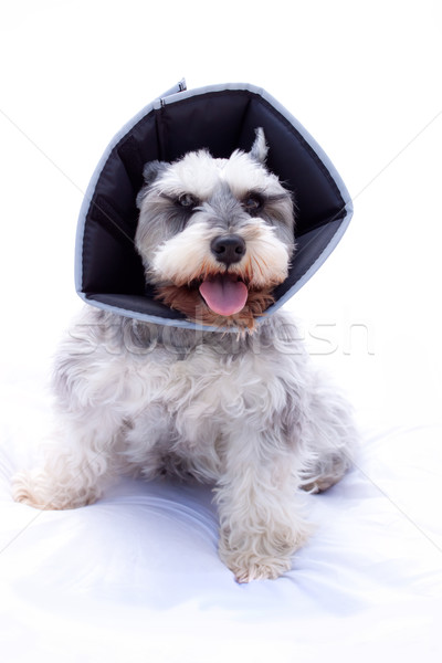 Schnauzer cono miniatura alrededor cuello sonrisa Foto stock © Melpomene