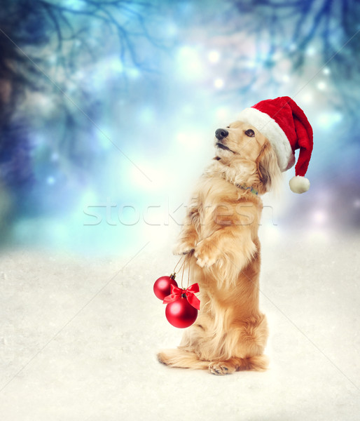 Dachshund dog with Santa hat holding Christmas baubles Stock photo © Melpomene