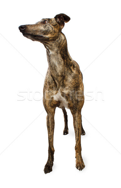 Standing Greyhound Isolated on White Stock photo © Melpomene