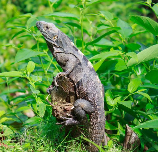 Wild iguana in the forest Stock photo © Melpomene
