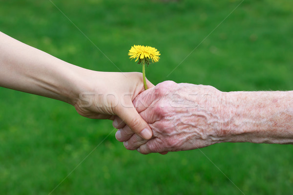 Young and senior's hands holding a dandelion Stock photo © Melpomene
