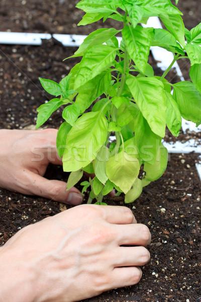 Basil Plant Being Cared for Stock photo © Melpomene
