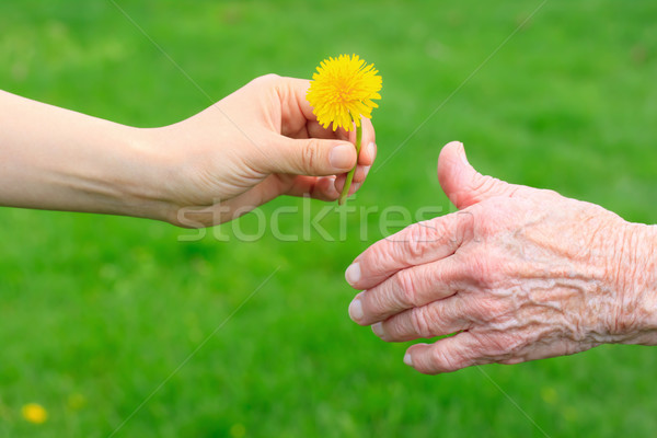 Dandelion senior jovem mão verde Foto stock © Melpomene