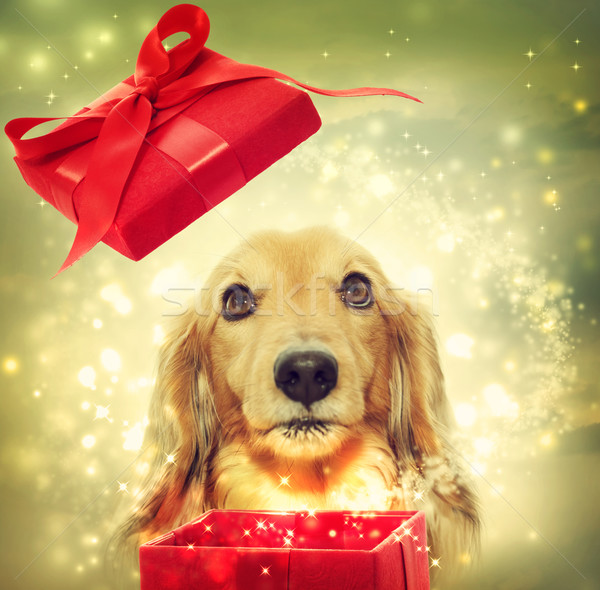 Teckel opening magie vak hond Rood Stockfoto © Melpomene