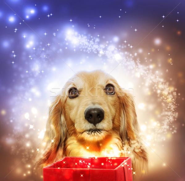 Bassotto apertura magia finestra cane stella cadente Foto d'archivio © Melpomene