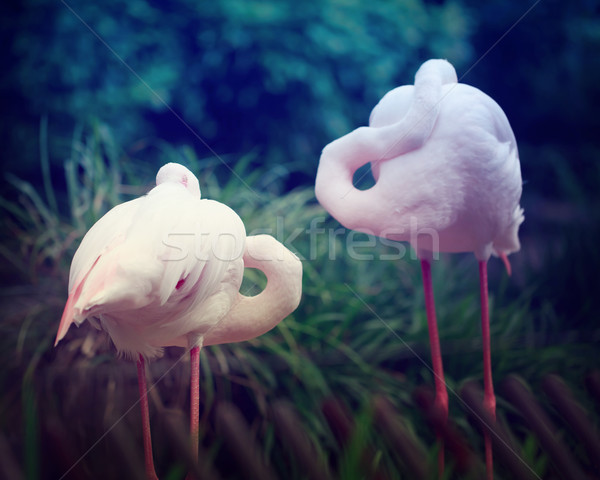 Two Pink Flamingos  Stock photo © Melpomene