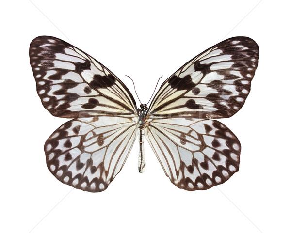 The Paper Kite butterfly Stock photo © Melpomene