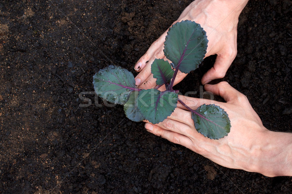 Planting young purple cabbage Stock photo © Melpomene