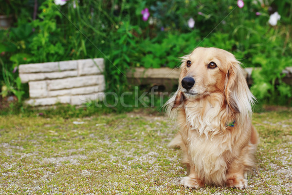 Dachshund  with Long Hair Outdoors Stock photo © Melpomene