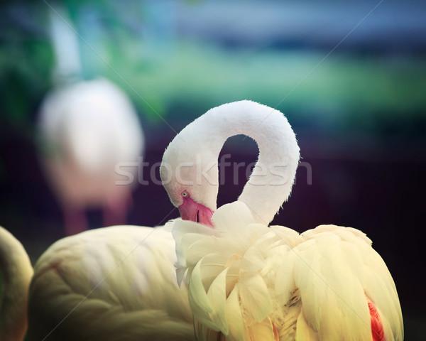 Egyedüli fehér flamingó rózsaszín csőr készít Stock fotó © Melpomene