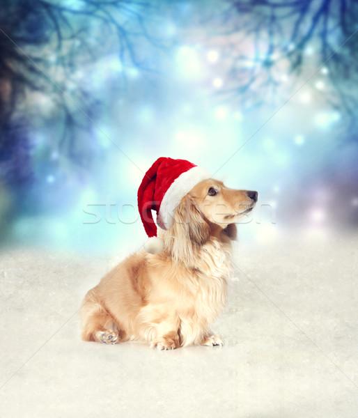 Сток-фото: такса · собака · Hat · сидят · снега