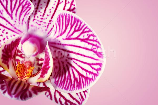 Beautiful orchid on a shiny magenta background Stock photo © Melpomene