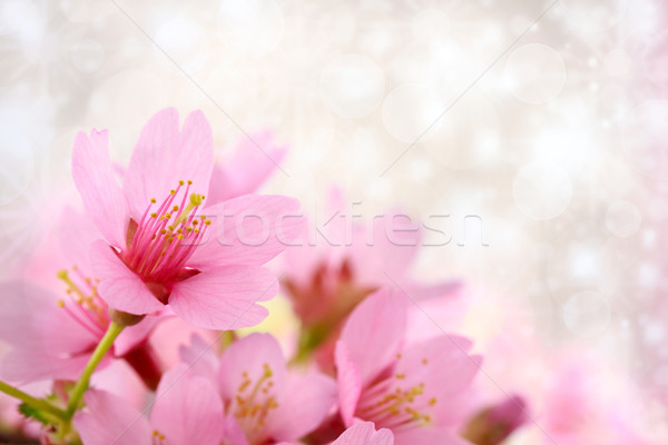 Cherry blossoms background Stock photo © Melpomene