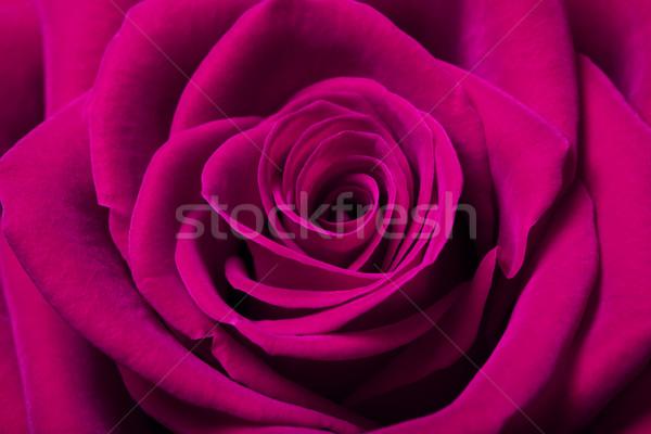 Gyönyörű magenta rózsa közelkép kép virág Stock fotó © Melpomene