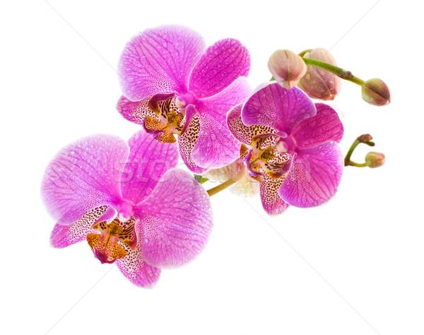 Phalaenopsis isolated on wite Stock photo © MichaelVorobiev