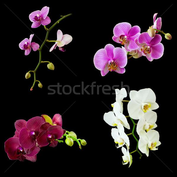 изолированный черный коллаж орхидеи красоту пространстве Сток-фото © MichaelVorobiev